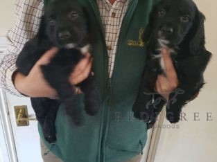 Kc registered cocker dog pups