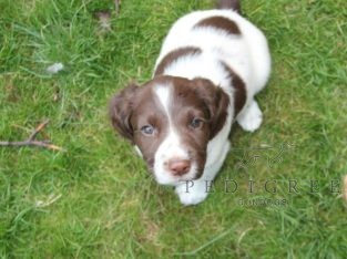 Wanted Springer spaniel dog pup L/W