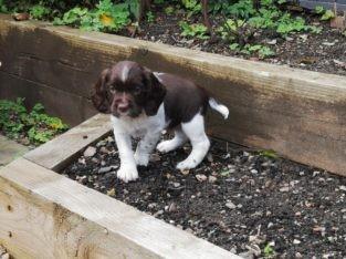 English Springer Spaniel Dog Pup For Sale