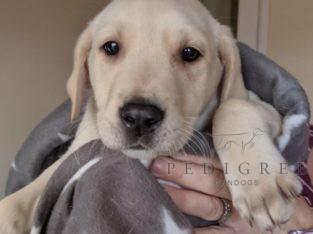 Yellow Labrador retriever Dog pup