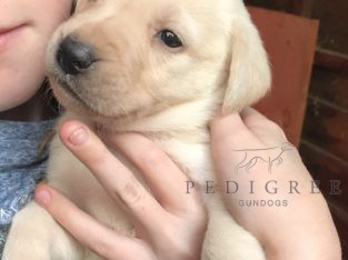 Quality bred health tested yellow Labrador pups