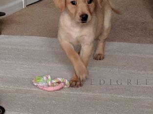 KC Yellow Labrador retriever pup