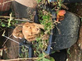 Golden Cocker Spaniel
