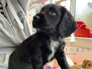 Working Cocker Spaniel Bitch Pup (Black) FTCH Sire