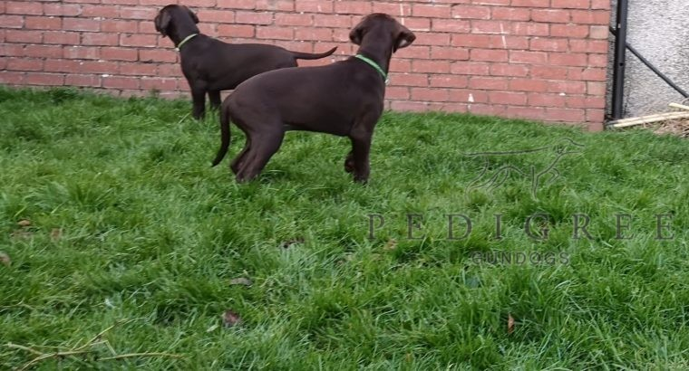 Kc registered German shorthaired pointer puppies