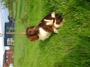 English Springer Spaniel dog – Stud