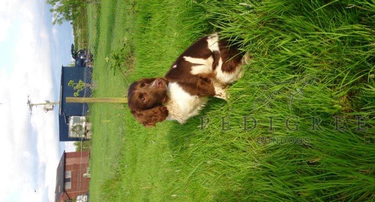 English Springer Spaniel dog – Stud