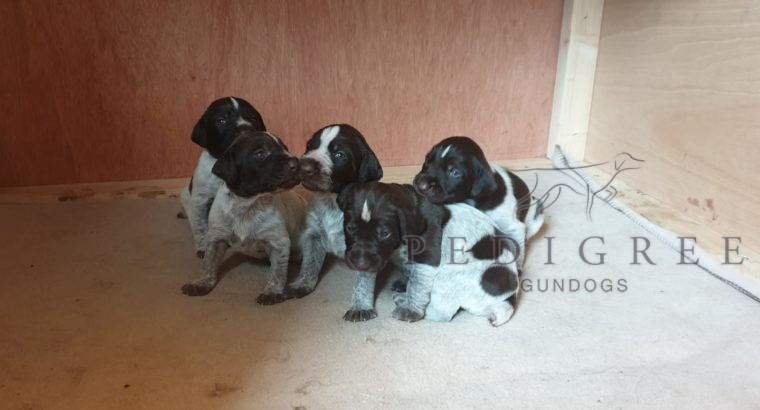 GWP pups for sale