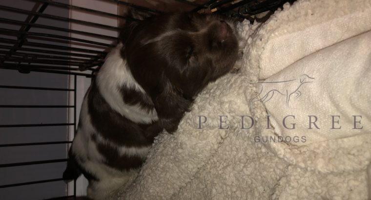 8 week old springer spaniel dog