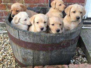 Cracking yellow lab pups