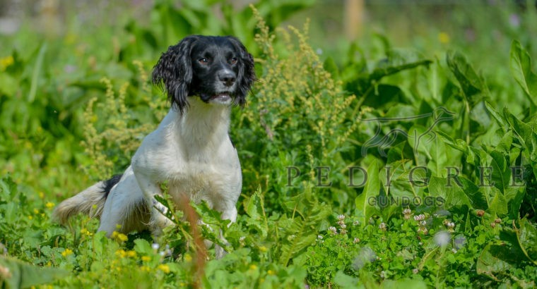 OFTAW – English Springer Spaniel At STUD