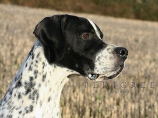Pointer Stud