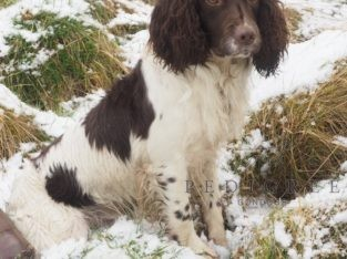 FTCh x FTCh springer at Stud fully health tested