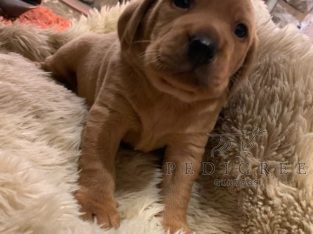 KC Fox Red Labrador Pups