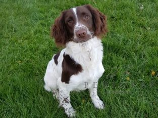 L/W English Springer Spaniel Dog