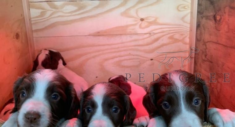 Champion bred springer puppies