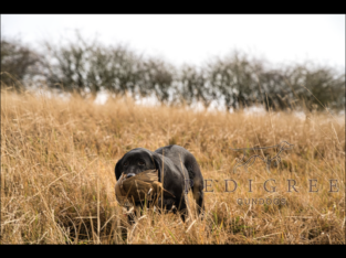 Wanted-Part/fully trained working Labrador