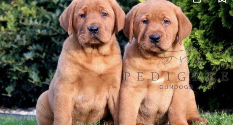 Looking for Fox Red Labrador pup (dog)