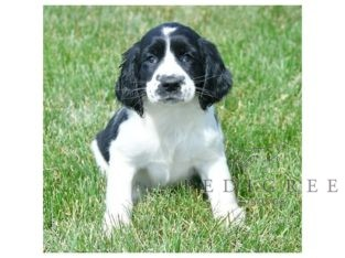 BLACK AND WHITE FEMALE SPRINGER PUP WANTED!