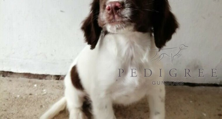 WANTED ENGLISH SPRINGER LIVER AND WHITE PUP