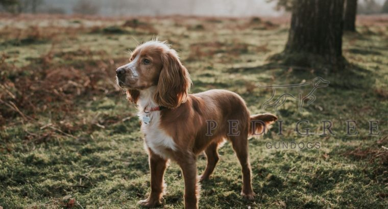 Looking for a working cocker puppy