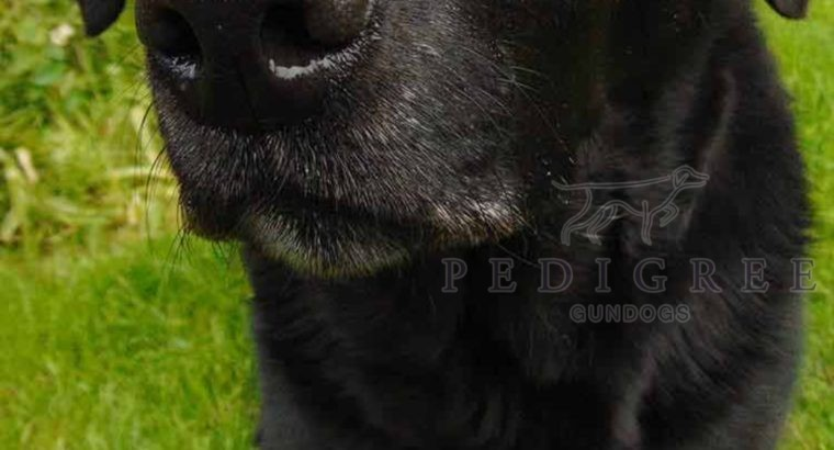 Labrador puppy wanted