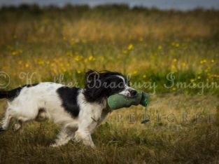 KC Reg ESS Dog for Stud