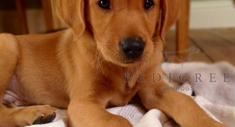Wanted Fox Red puppy Male