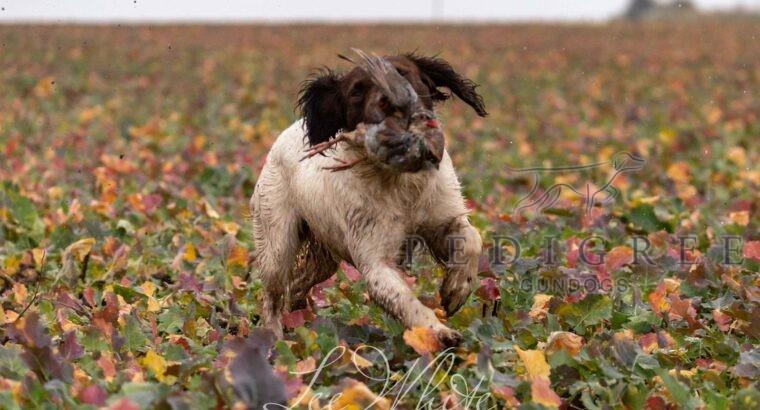 Proven KC Reg ESS Dog for Stud