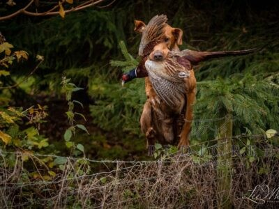 Fox Red KC Labrador for Stud