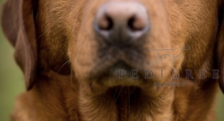 Fox Red Labrador Stud Dog