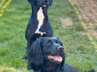 Looking for a trained springer or cocker spaniel