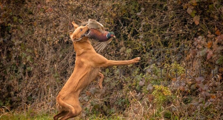 Proven Fox Red KC Labrador for Stud