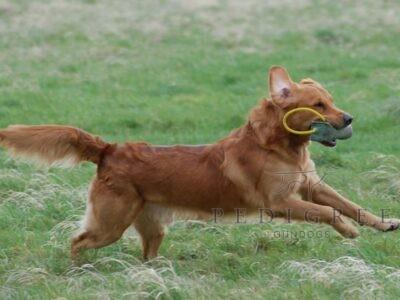 GOLDEN RETRIEVER STUD DOG HEALTH TESTED, PROVEN