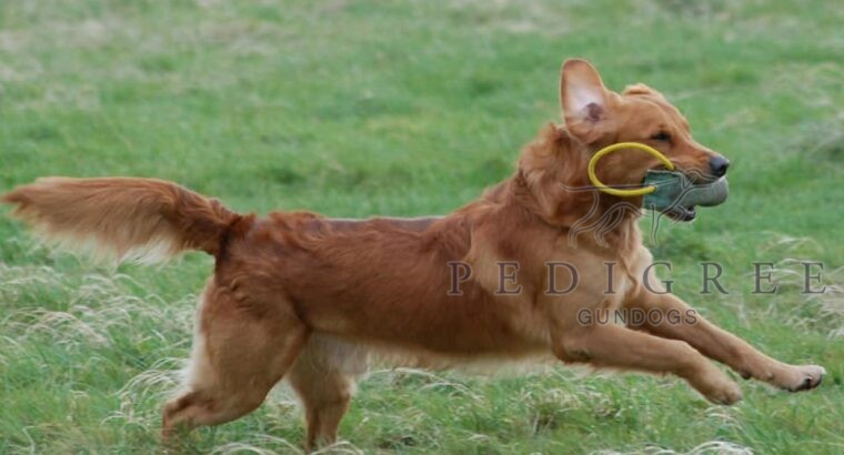 GOLDEN RETRIEVER STUD DOG HEALTH TESTED, PROVEN