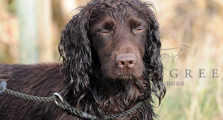 Trained Cocker spaniel dog