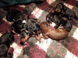 Irish/Gordon Setter Puppies