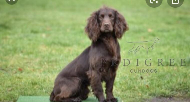 Looking for working cocker/springer bitch