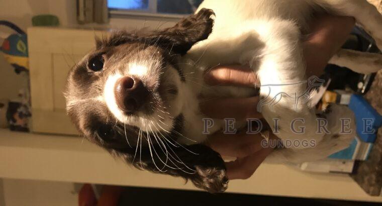 English springer spaniel bitch puppy