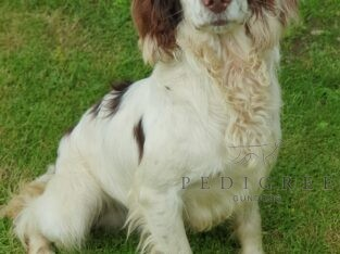 18mth Old Springer Dog