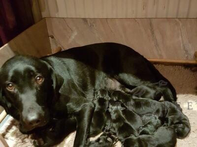 Black Lab DOG Pups