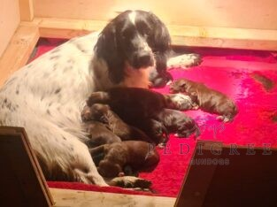 Kc registered working cocker pups