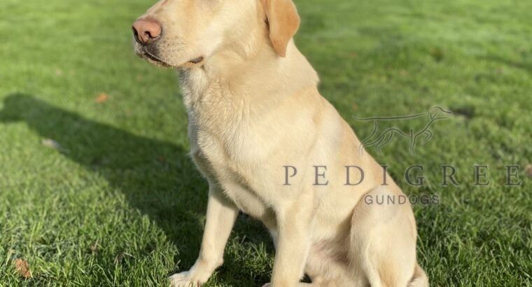 Part Trained Yellow Labrador Dog