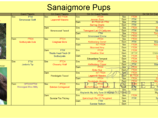 English Springer Spaniel Dog Puppy
