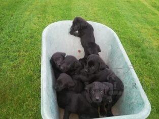 Black labrador dog puppies