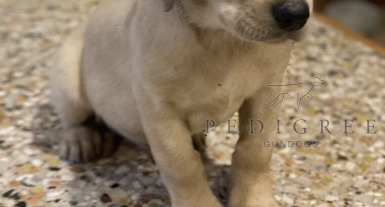 WELL BRED KC LAB PUPPIES WORKING STOCK