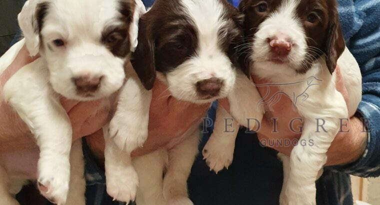 Working Springer Spaniel Puppies For Sale