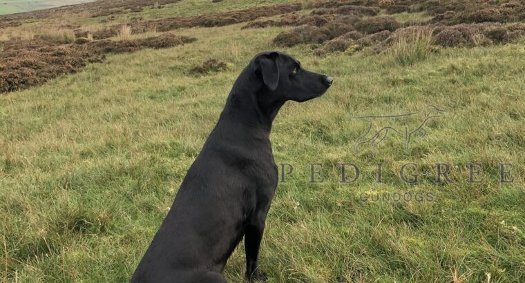 Labrador puppies for sale. S-FTCh Fendawood Harold