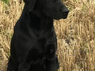 9 Month old Labrador for sale