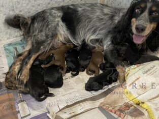 Working Cocker pups. KC Reg – ALL SOLD